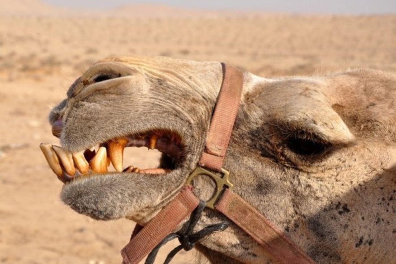 Верблюд откусил руку